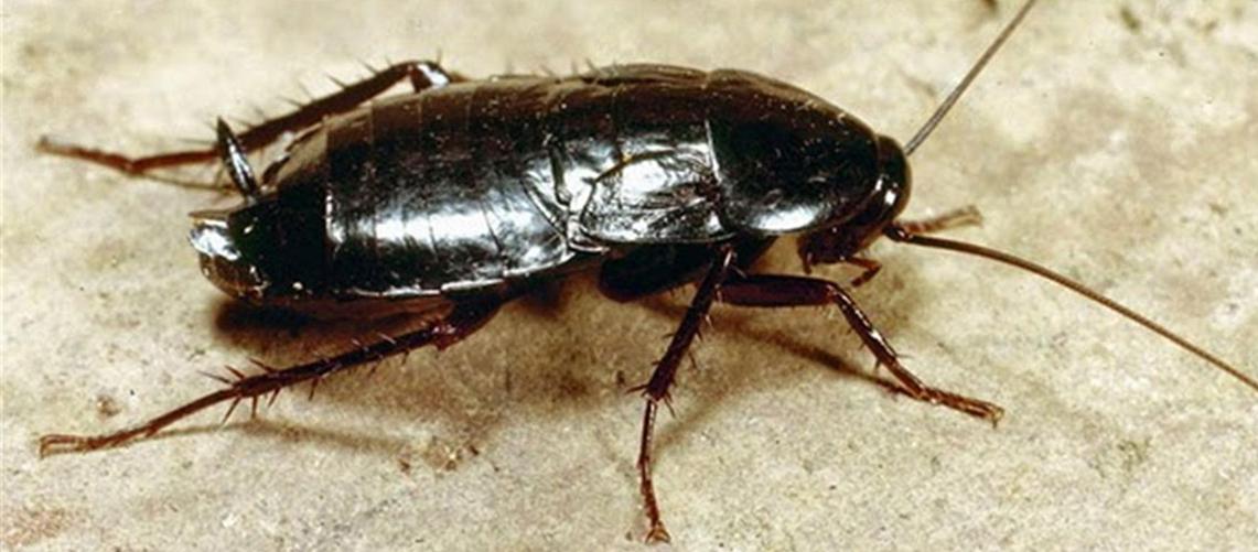 Oriental Hamam Böceği İlaçlama
